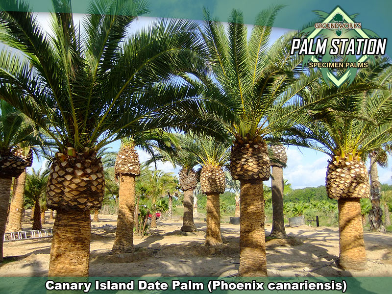 Clear Choice Locations >> Canary Island Date Palm - Groundworks Palm Station