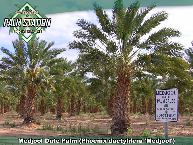 Medjool Date Palm Groundworks Palm Station